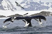 pic of whale-tail  - humpback whale tail that dives during feeding in Antarctic Islands - JPG