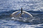 foto of mink  - Minke whale back surfaced ocean in the Antarctic Peninsula 1 - JPG