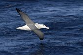 foto of albatross  - wandering albatross hovering over the blue surface of the Atlantic Ocean - JPG