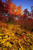 foto of dnepropetrovsk  - Majestic autumn forest of the Dnepropetrovsk - JPG