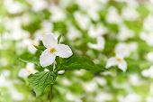 stock photo of trillium  - A White Trillium is singled out with Shallow Depth of field against a blurred out background of a trillium bed - JPG