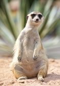 picture of meerkats  - lonely meerkat sitting and lookout in nature - JPG