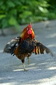 pic of fighting-rooster  - Beautiful decorative rooster on the farm in the spring - JPG