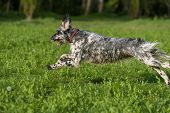 stock photo of english setter  - Cute blue belton English Setter dog is running fast cross on a spring flowering meadow - JPG