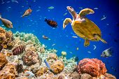 image of saltwater fish  - Turtle  - JPG