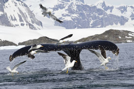 picture of whale-tail  - humpback whale tail that dives during feeding in Antarctic Islands - JPG