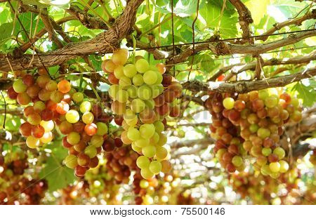 Vietnam Vineyard, Vine, Ripe Red Grape
