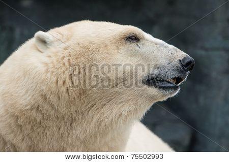 Head of a polar bear