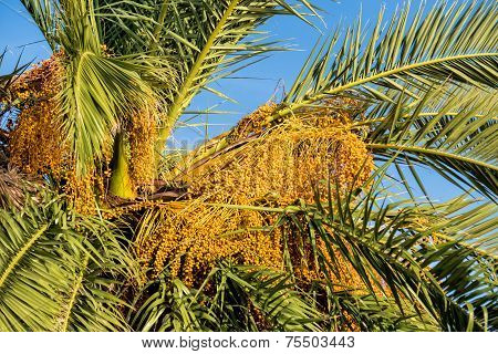 Ripe Date Fruit On Palm Tree