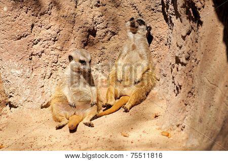 Two Meerkats.