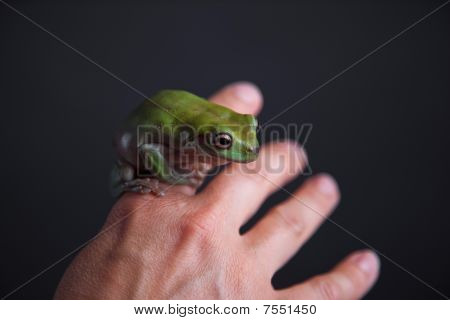 Leaf Green Tree Frog
