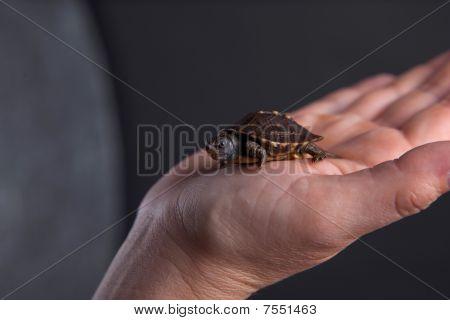 Pequena tartaruga