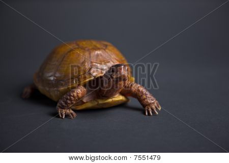 Turtle in the studio