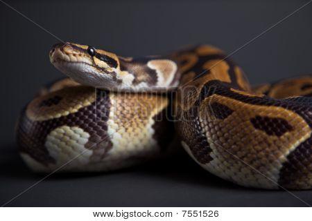 Cobra em um estúdio