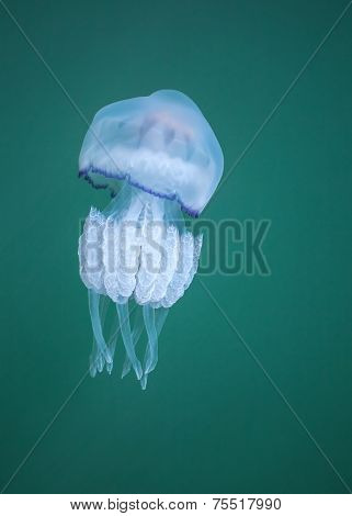 Rhizostoma. Dangerous Jellyfish Of Black Sea