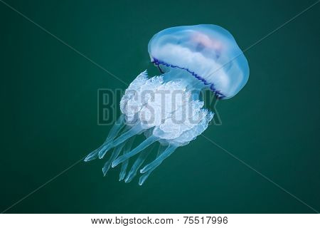 Rhizostoma. Dangerous Jellyfish