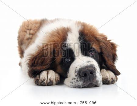 Adorável Puppy de Bernard Saint deitado