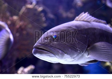 The Dusky Grouper