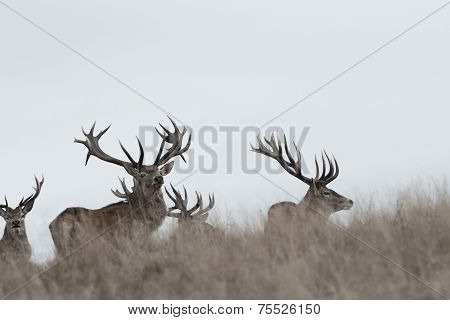Awesome Red Deer Stags