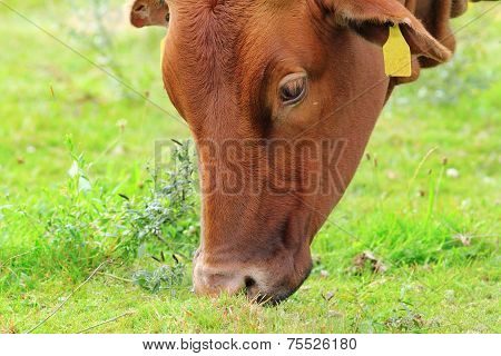 Brown Zebu Grazing