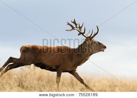 Cervus Elaphus Running On Meadow
