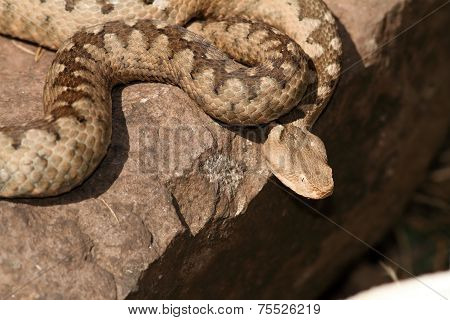 Dangerous Venomous European Snake