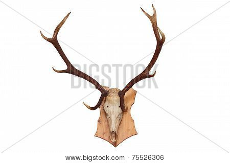 Isolated Skull Of A Red Deer