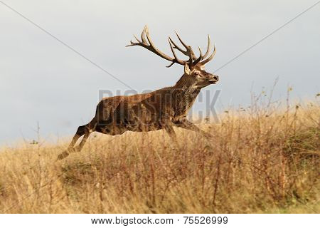 Red Deer Buck Running In A Clearing