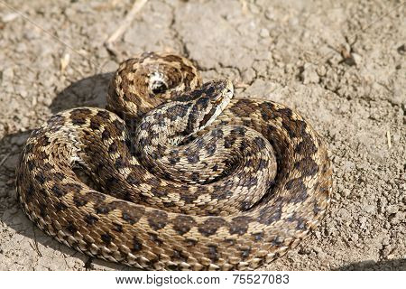Vipera Ursinii Rakosiensis On The Ground