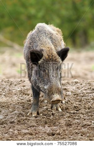 Wild Boar At A Hunting Farm