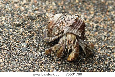 Hermit Crab in shell on beach, Corcovado, Costa Rica