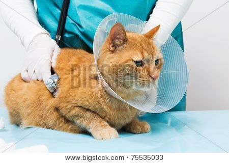 Red Cat With Neck Brace