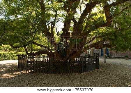 Old Black Locust Tree