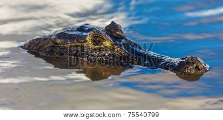 Amazing Crocodile