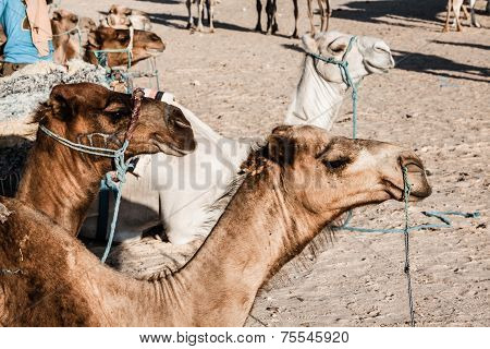 Arabian Camel Or Dromedary Also Called A One-humped Camel In The Sahara Desert, Douz, Tunisia