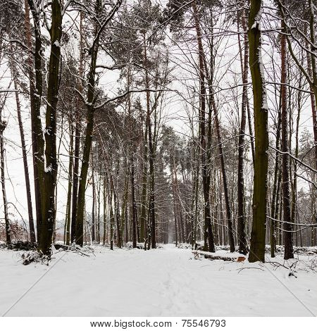 Snow Alley Path In Winter Forest.