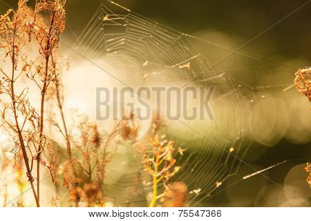 Nature Beauty Morning. Cobweb On Dry Grass.