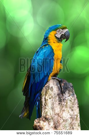 Amazing Blue and Yellow ( Arara ) Macaw