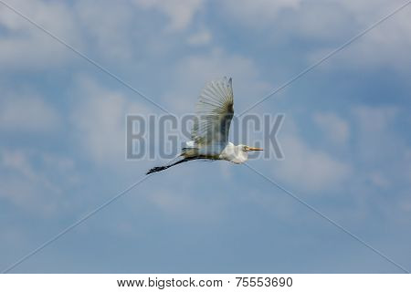 Egret flying through the sky