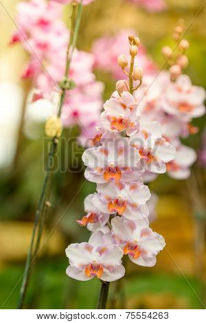 Beautiful Pink Orchid Flower In Mae Fah Luang Garden. Thailand