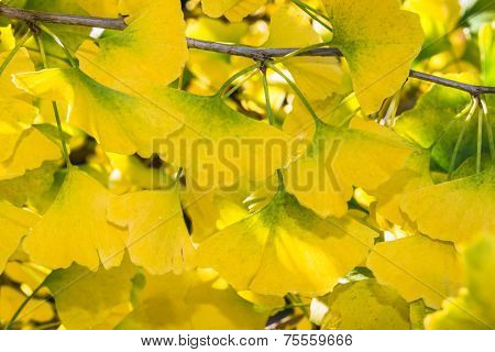 Ginko Abstract Background Blur