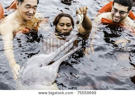 AMAZON, BRAZIL - CIRCA MARCH 14 2014: The Amazon river dolphin, alternatively Bufeo, Bufeo Colorado, Boto Cor de Rosa, Boutu, Nay, Tonina, or Pink Dolphin (Inia geoffrensis), is being feed by a local.