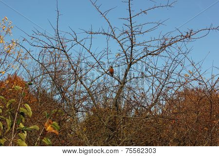 Robbin sits peacefully on a branch in fall in its native habitat
