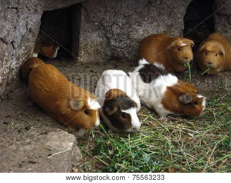 Guinea Pigs of Peru
