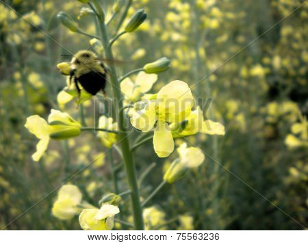 bumble bee and yellow mustard flowers