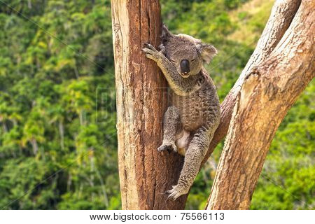 Cute Koala in the forest, Australia