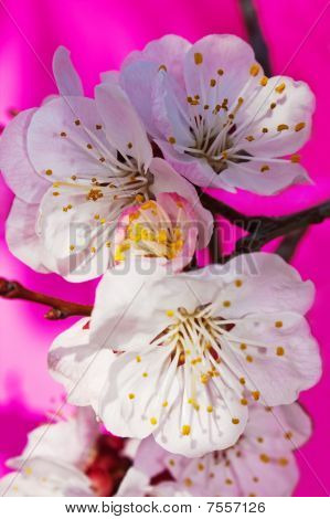 White flowers of a branch of an apricot