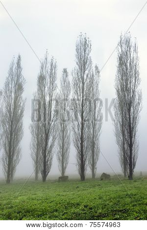Foggy Landscape With Tree Alley