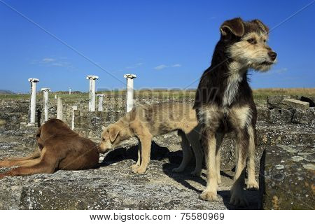 Three Homeless Dogs In Archaeological Site Stobi, R.macedonia