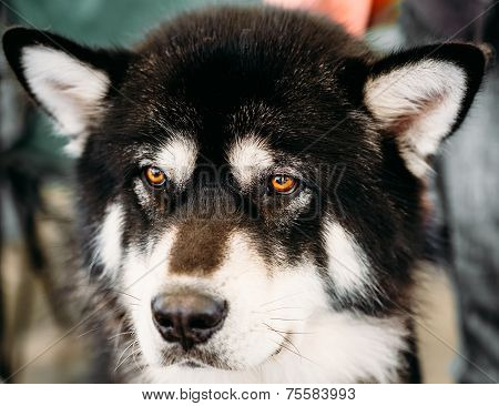 Alaskan Malamute Dog Close Up Portrait